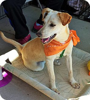 Labrador Retriever/Terrier (Unknown Type, Small) Mix Dog for adoption in Alexis, North Carolina - Ody