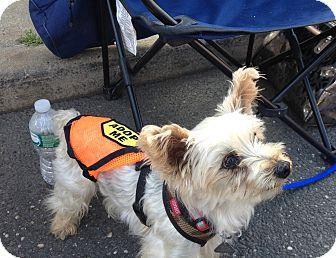 Yorkie, Yorkshire Terrier Dog for adoption in Freeport, New York - Richie