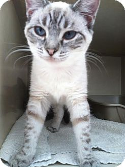 Siamese Kitten for adoption in Westminster, California - Prickle