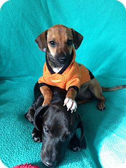 Dachshund/Chihuahua Mix Puppy for adoption in Shelter Island, New York - Opie