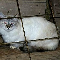 Persian Cat for adoption in Muldrow, Oklahoma - Ashes