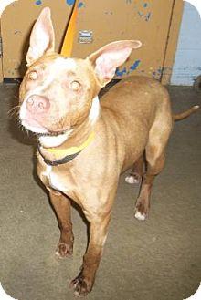 Pit Bull Terrier Mix Dog for adoption in Rapid City, South Dakota - Princess