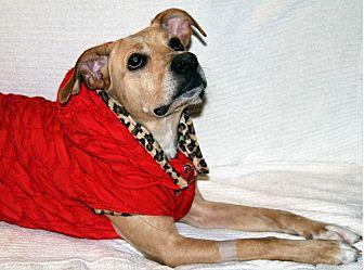 Border Collie/Labrador Retriever Mix Dog for adoption in Wayne, New Jersey - Tessa