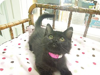 Domestic Mediumhair Kitten for adoption in Medina, Ohio - Lily
