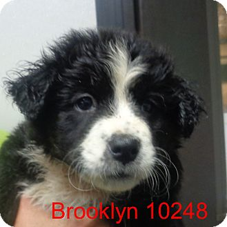 Border Collie Mix Puppy for adoption in Greencastle, North Carolina - Brooklyn
