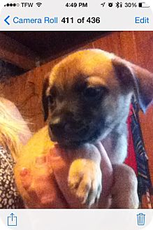 Pug Mix Puppy for adoption in springtown, Texas - Stormy