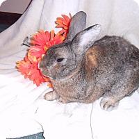 Adopt A Pet :: Honeybun - Maple Shade, NJ