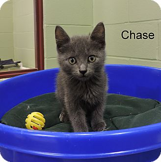 Domestic Shorthair Kitten for adoption in Slidell, Louisiana - Chase