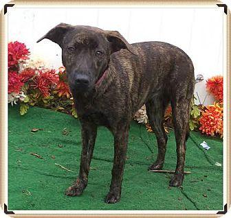 Plott Hound Mix Dog for adoption in Marietta, Georgia - CARMEN