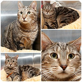 Domestic Shorthair Cat for adoption in Forked River, New Jersey - Fritz