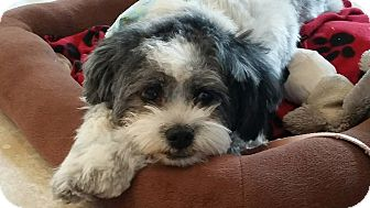 Shih Tzu Mix Dog for adoption in Tijeras, New Mexico - Miss Lilly