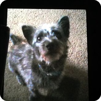 Yorkie, Yorkshire Terrier/Chinese Crested Mix Puppy for adoption in Palm Bay, Florida - Blubear