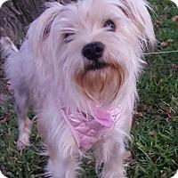Adopt A Pet :: Angel - Lancaster, TX