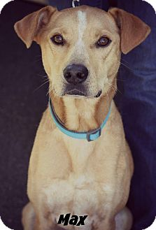 Labrador Retriever/Retriever (Unknown Type) Mix Dog for adoption in Fredericksburg, Virginia - Max