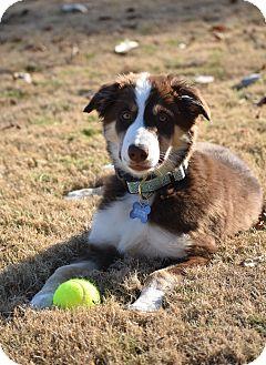 Border Collie Puppy for adoption in Eden Prairie, Minnesota - Mazie