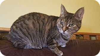 Domestic Shorthair Cat for adoption in Old Bridge, New Jersey - Greece