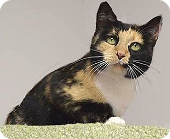 Domestic Shorthair Cat for adoption in Farmington Hills, Michigan - Autumn