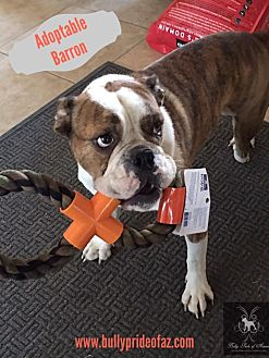 bulldog rescue az phoenix az english bulldog meet barron a dog for adoption 1613