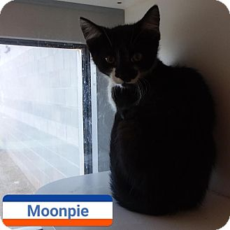 Domestic Shorthair Kitten for adoption in Edgewood, New Mexico - Moonpie