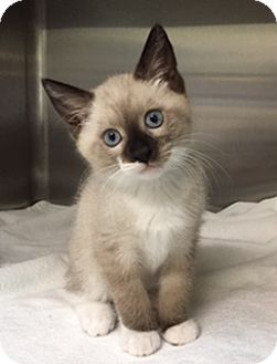 Siamese Kitten for adoption in Oviedo, Florida - Templeton the Siamese Sealpoint/Snowshoe