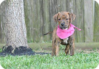 Hound (Unknown Type)/Pointer Mix Puppy for adoption in Westerly, Rhode Island - Bryn