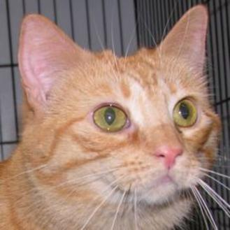 Domestic Longhair/Domestic Shorthair Mix Cat for adoption in Tilton, Illinois - Cecelia