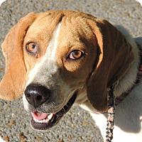 Adopt A Pet :: Beulah - Brattleboro, VT