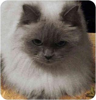 Himalayan Cat for adoption in Davis, California - Clarissa