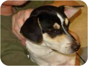 Rat Terrier Mix Dog for adoption in College Station, Texas - Trooper