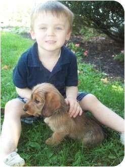Dachshund/Schnauzer (Miniature) Mix Puppy for adoption in Mechanicsburg, Pennsylvania - Chanel