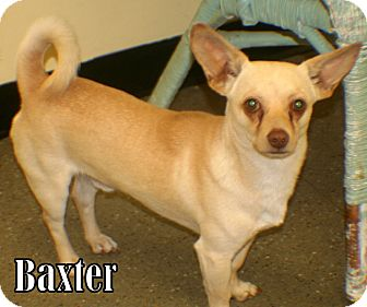 Chihuahua Mix Dog for adoption in Georgetown, South Carolina - Baxter