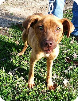 Terrier (Unknown Type, Medium)/Plott Hound Mix Puppy for adoption in Starkville, Mississippi - Kate