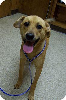 Black Mouth Cur/Labrador Retriever Mix Dog for adoption in Leland, Mississippi - CLINE