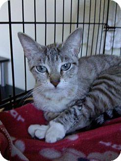 Siamese Kitten for adoption in Huntington Station, New York - SIMONE
