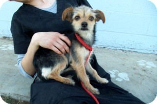 Terrier (Unknown Type, Small)/Chihuahua Mix Dog for adoption in Westminster, California - Topanga