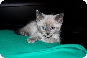 Siamese Kitten for adoption in Phoenix, Arizona - Jesse