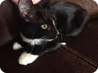 Domestic Shorthair Kitten for adoption in East Hanover, New Jersey - Molly