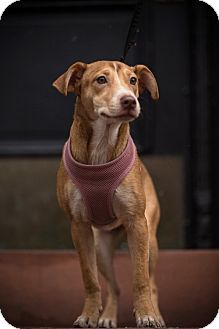Vizsla/Terrier (Unknown Type, Small) Mix Puppy for adoption in West Simsbury, Connecticut - Jubilant Jingles