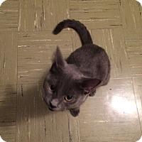 Adopt A Pet :: Bleu - Chicago, IL