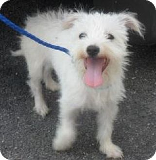 Westie, West Highland White Terrier Mix Dog for adoption in Grand Saline, Texas - Frannie