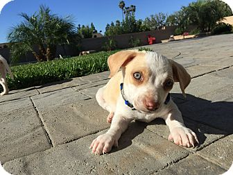 Beagle/Dachshund Mix Puppy for adoption in Brea, California - Freddie