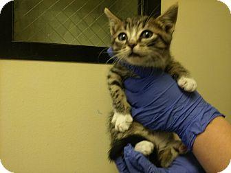Domestic Shorthair Kitten for adoption in Mine Hill, New Jersey - Skippy