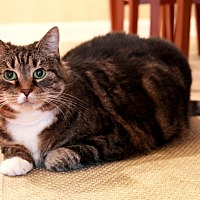 American Shorthair Cat for adoption in Reisterstown, Maryland - Lake