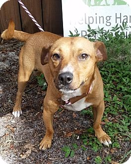 Jack Russell Terrier Mix Dog for adoption in Gainesville, Florida - Blake