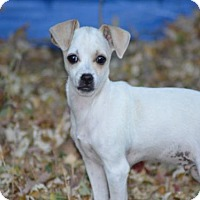 Chihuahua/Dachshund Mix Puppy for adoption in C/S & Denver Metro, Colorado - Bo Bo  7 Months
