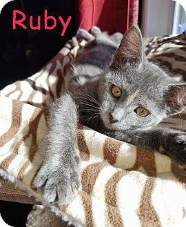 Russian Blue Kitten for adoption in Flint HIll, Virginia - Ruby