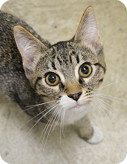 Domestic Shorthair Kitten for adoption in Springfield, Illinois - Rufus
