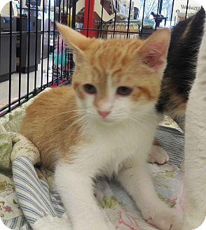 Domestic Shorthair Kitten for adoption in Alamo, California - Prancer
