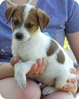 Brittany/Terrier (Unknown Type, Small) Mix Puppy for adoption in Niagara Falls, New York - Levi (6 lb) Video
