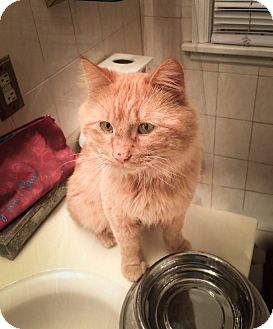 Domestic Mediumhair Cat for adoption in Roseville, Minnesota - Sampson